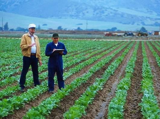 sugar-beet-field
