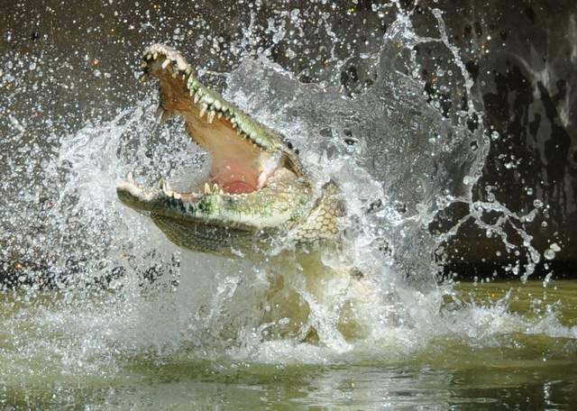 crocodile-snout