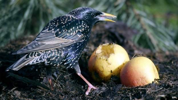 _69837135_z8920651-european_starling-spl