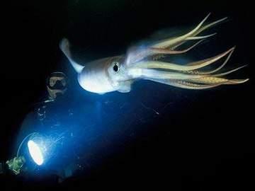 HumboldtSquid_1445724c