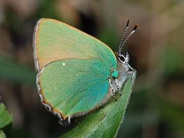 callophrys_rubi_001