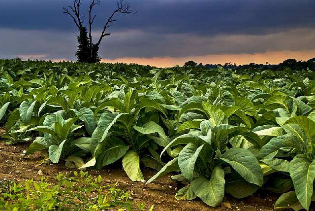 Ominous Tobacco Field at dusk. Notice two iny windmills visible on the horizon