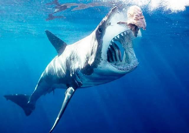 great-white-shark-bait-2-620x440