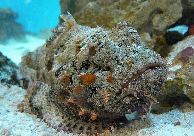 Бородавчатка, или каменная рыба (семейство Synanceia) – самая ядовитая морская рыба и одно из самых