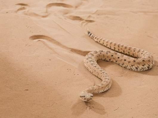 Какие змеи живут в песке