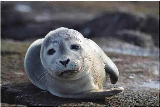 http://gearmix.ru/wp-content/uploads/2014/11/Harbor-Seal-Pup1.jpg