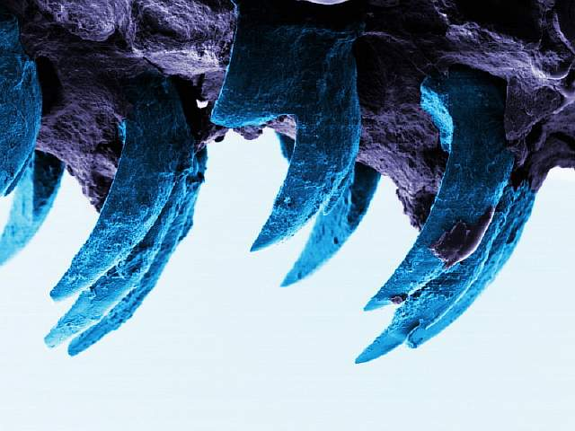 Limpet-teeth-2