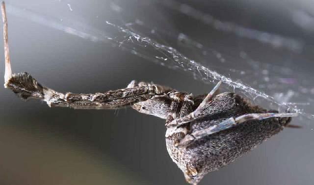 Этот паук прядёт ловчие сети из шёлка, заряженного электричеством