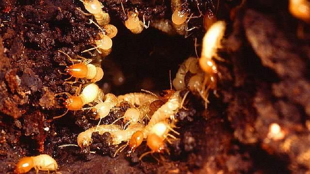 Nest_of_Formosan_subterranean_termites_(Coptotermes_formosanus)