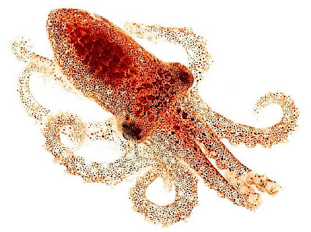 octopushirescropped