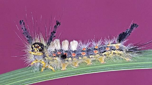tussock-moth-caterpillar
