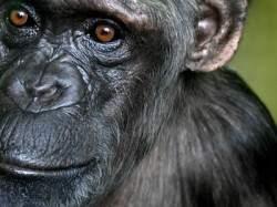 251_chimp-940x626