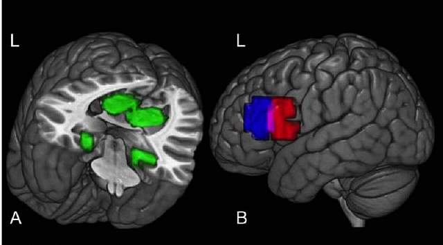 Участки мозга, которые активируются, когда человек изучает факты о среде обитания животного (слева) и его диете (справа)