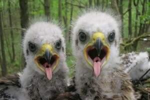 Baby spotted eagle Valeriy Yurko 6