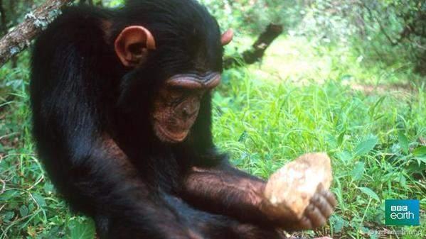 http://gearmix.ru/wp-content/uploads/2015/10/chimpanzee.jpg