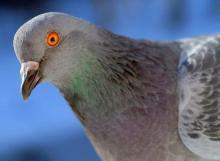 Pigeons-identify-cancerous-tissue-x-rays