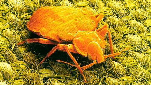 _89425258_z2850116-sem_of_a_bed_bug-spl