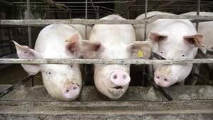 Выкладывая дороги свиным навозом