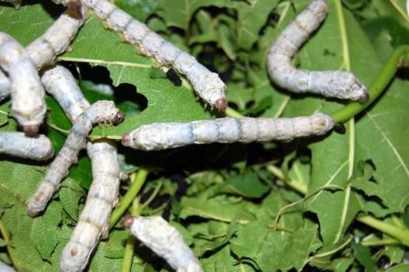 фото гусеницы шелкопряда