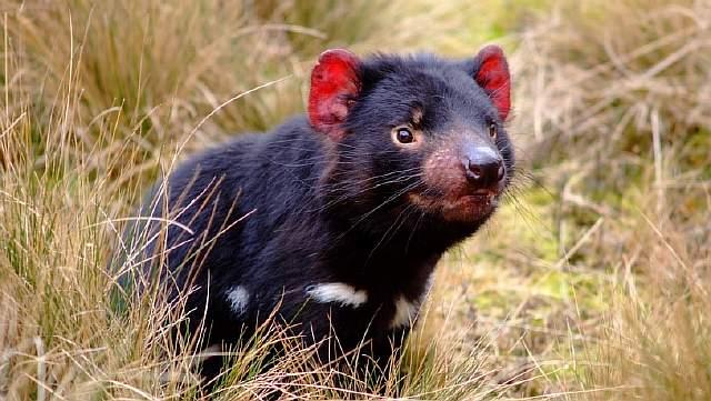 487868-tasmanian-devil