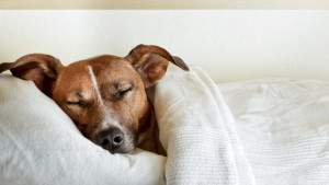 Когда собаки засыпают, им снятся их хозяева