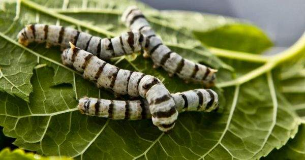 graphene-fed-silkworms-600x315