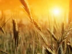 wheat-wallpaper-12