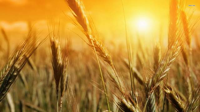 wheat-wallpaper-12