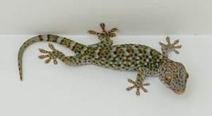 Новая технология прилипания к поверхностям, заимствованная у гекконов, позволит создать двигающихся по вертикальным стенам роботов