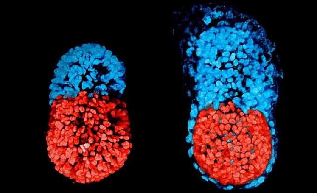 Создали эмбрион изстволовых клеток