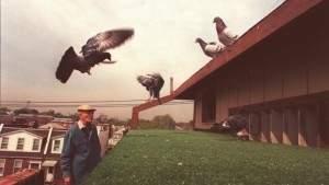 Птицы не столь уж глупы: голуби демонстрируют поведение, подобное человеческому, при передаче навыков последующему поколению