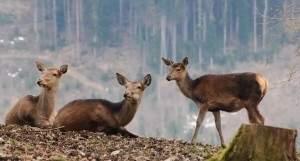 Самки лосей к девяти годам становятся настолько опытнее и мудрее, что охотникам не удаётся их подстрелить