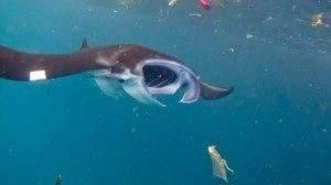Пластик обнаружен в организмах почти трети глубоководных морских рыб