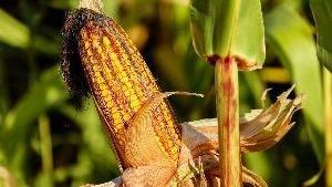 Ученые доказали, что генно-модифицированная кукуруза полезна