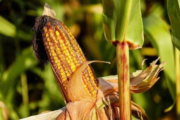 corn-1200x800.jpg