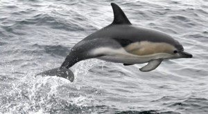 На пляжах Бретани запрещают купание в море из-за излишне дружелюбного дельфина