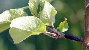 Садовая герилья в действии: партизаны от экологии тайно прививают на декоративные растения ветки фруктовых деревьев