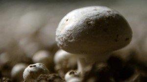 «Бионические грибы», вырабатывающие электричество, смогут в будущем обеспечивать освещение