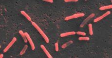 Высушенные в замороженном виде кишечные бактерии могут стать ключом к борьбе с астмой, болезнями Альцгеймера и Паркинсона и даже раком