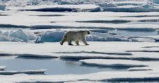 Университет уволил профессора за утверждения о том что популяция белых медведей растет